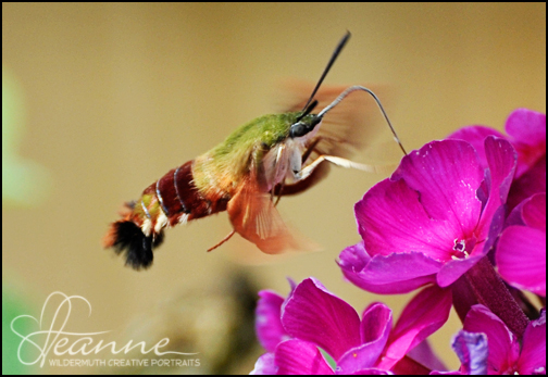 Hummingbird Moth photo by Leanne Wildermuth