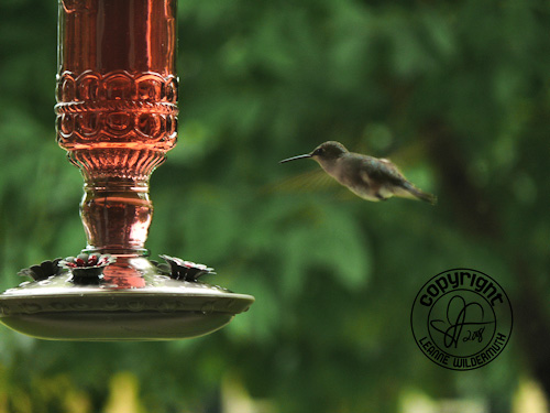 hummingbird hover photo leanne wildermuth