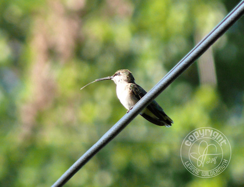 hummingbird perched tongue sticking out leanne wildermuth