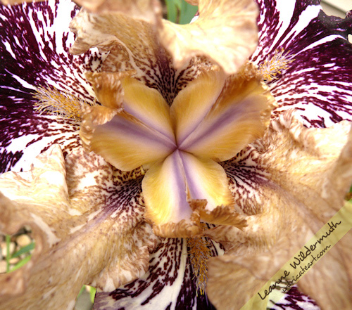 iris kaleidoscope gnu flash batik photo by Leanne Wildermuth