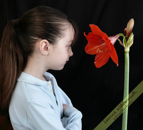 Large Amaryllis in bloom photo by Leanne Wildermuth