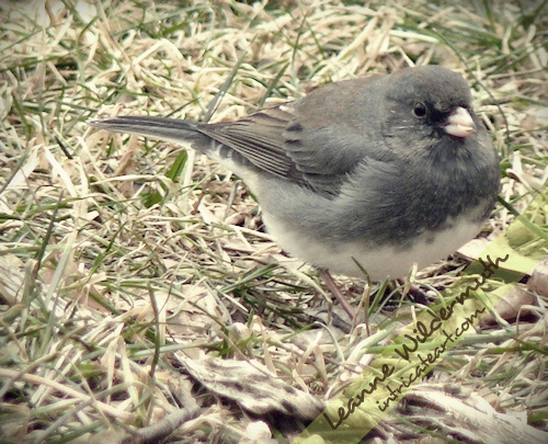 Junco photo by Leanne Wildermuth
