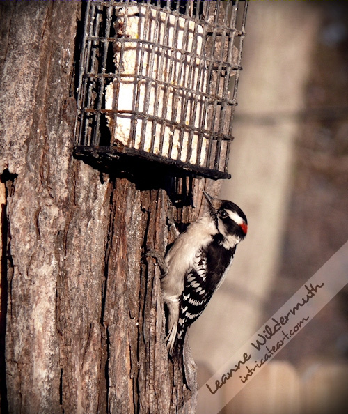downy woodpecker male photo by Leanne Wildermuth