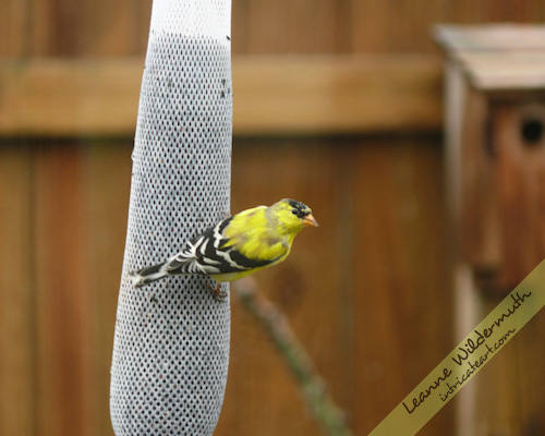 male goldfinch spring molting photo by Leanne Wildermuth