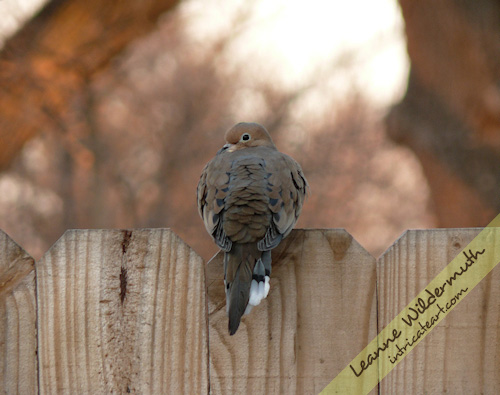 Morning, Love - Mourning Dove photo by Leanne Wildermuth