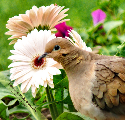 mourning dove daisy by Leanne Wildermuth
