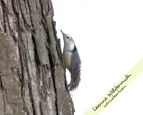 nuthatch photo by Leanne Wildermuth