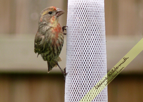 orange house finch photo by Leanne Wildermuth