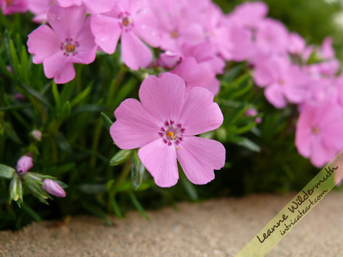 pink creepling phlox by Leanne Wildermuth