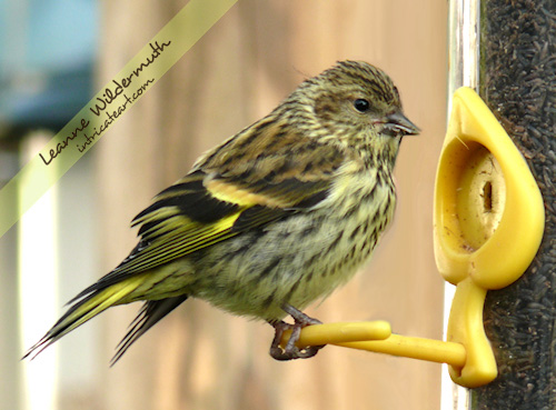 Pine Siskin bird photo by Leanne Wildermuth