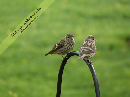 Pine Siskin male female bird couple photo by Leanne Wildermuth