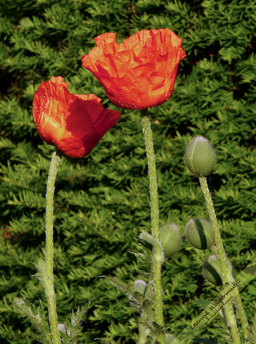 poppies photo by Leanne Wildermuth