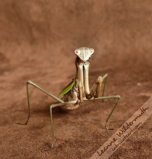 praying mantis copyright leanne wildermuth