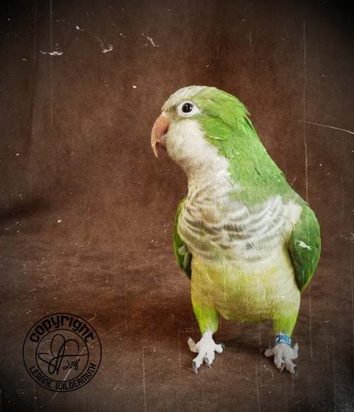 quintin quaker parrot portrait photo leanne wildermuth