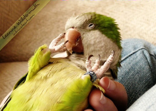 Quaker Parrot Quintin pet bird by Leanne Wildermuth