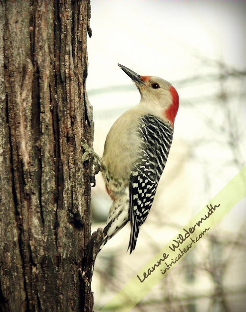 Red Bellied Woodpecker, Female - photo by Leanne Wildermuth