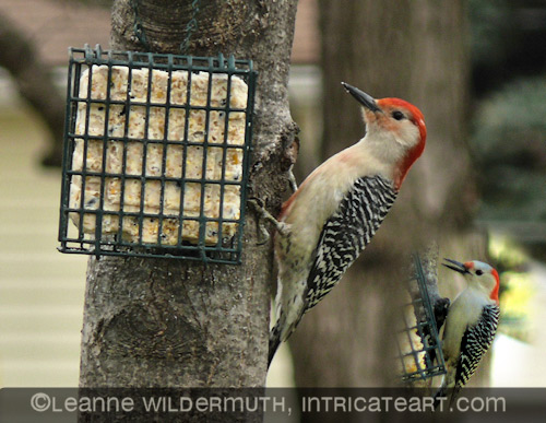 red bellied woodpecker red head white head male female photograph leanne wildermuth' class=
