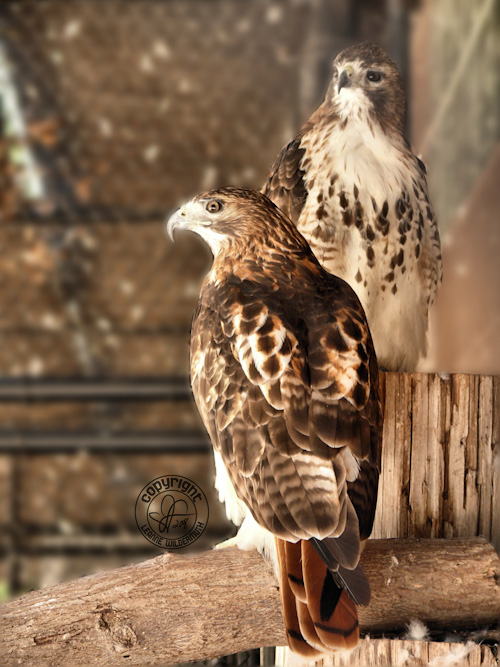 red tailed hawks male female photo leanne wildermuth