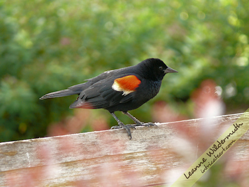 Red Winged Blackbird male bird photography by Leanne Wildermuth