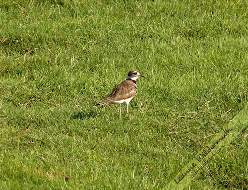 killdeer bird photo by Leanne Wildermuth