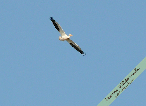 white pelican 1 photo by Leanne Wildermuth