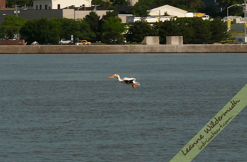 white pelican 7 photo by Leanne Wildermuth