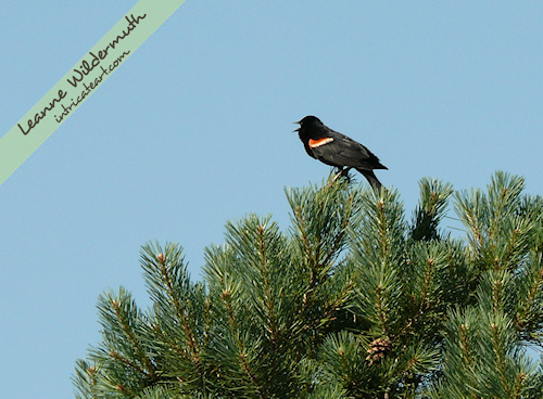 red winged blackbird bird photo by Leanne Wildermuth
