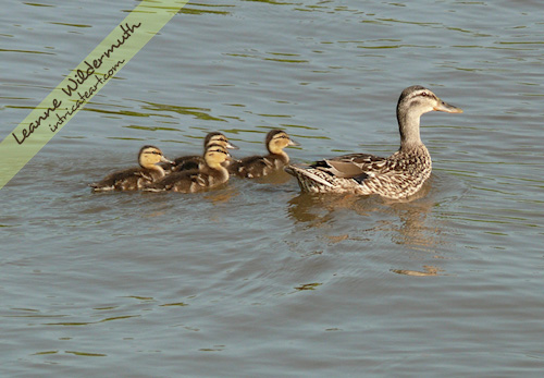 mallard ducklings photo by Leanne Wildermuth