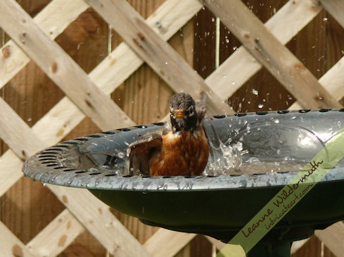 red breasted robin bath photo by Leanne Wildermuth