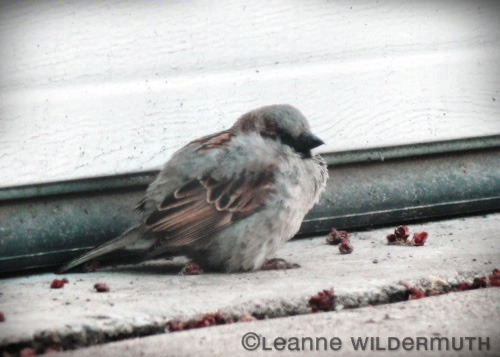 house sparrow photo hunkered down molting poof ball' class=
