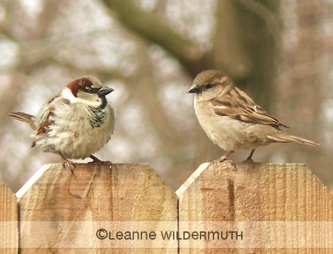 house sparrow gendering male female' class=