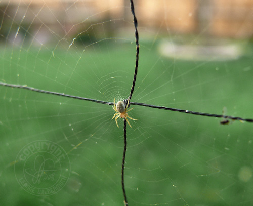tiny spider in center web net leanne wildermuth
