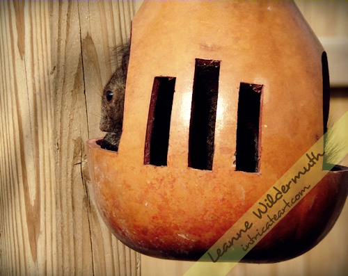 Squirrel in a gourd photo by Leanne Wildermuth