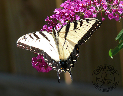 western tiger swallowtail butterfly photo 1 leanne wildermuth