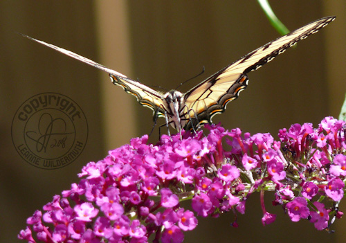 western tiger swallowtail butterfly photo 10 leanne wildermuth