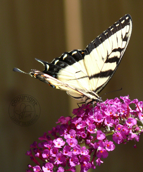 western tiger swallowtail butterfly photo 11 leanne wildermuth