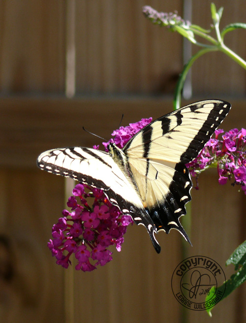 western tiger swallowtail butterfly photo 12 leanne wildermuth