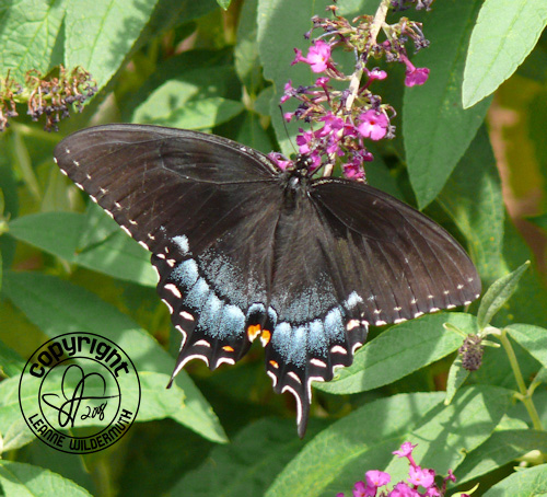 black swallowtail butterfly photo 1 leanne wildermuth