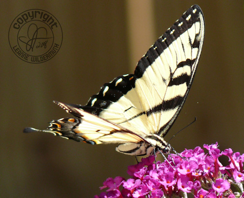 western tiger swallowtail butterfly photo 2 leanne wildermuth