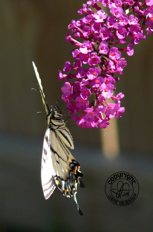 western tiger swallowtail butterfly photo 4 leanne wildermuth