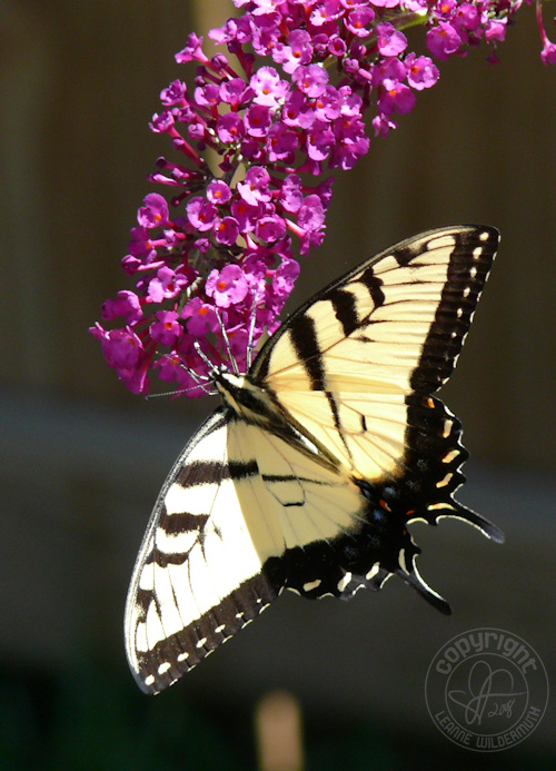 western tiger swallowtail butterfly photo 5 leanne wildermuth