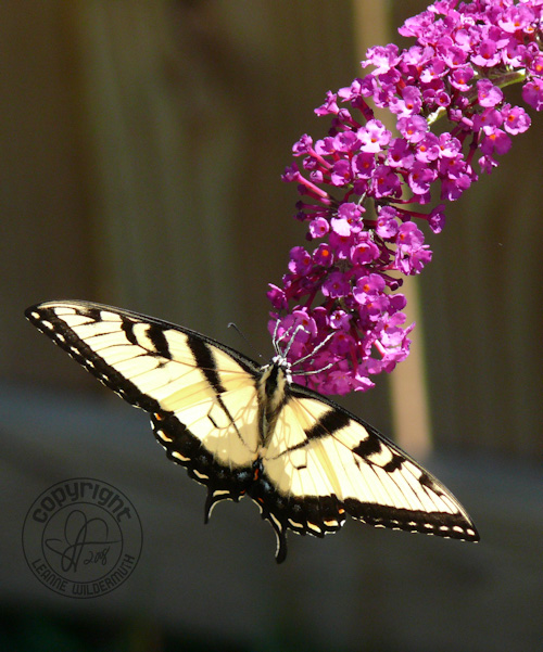 western tiger swallowtail butterfly photo 6 leanne wildermuth