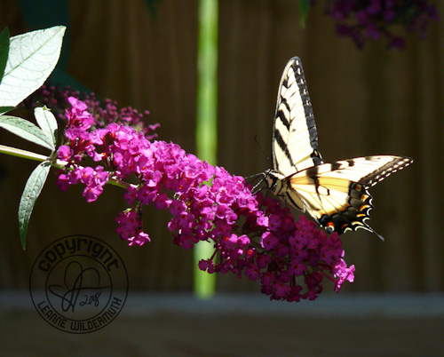 western tiger swallowtail butterfly photo 7 leanne wildermuth