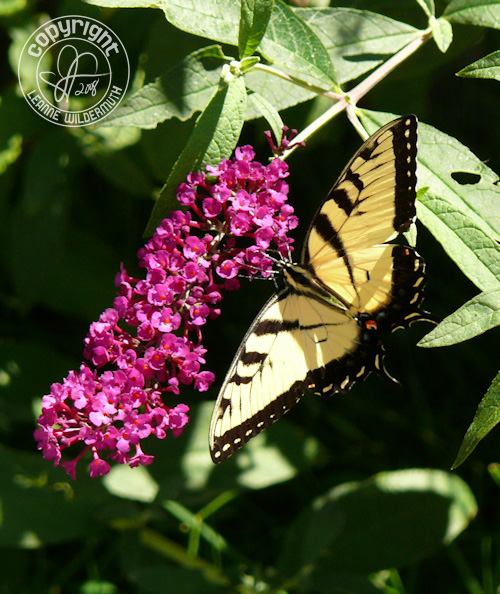 western tiger swallowtail butterfly photo 8 leanne wildermuth