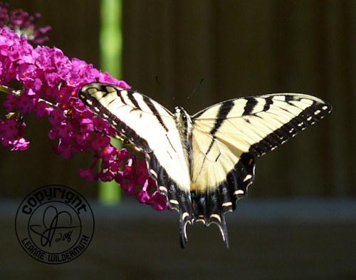 western tiger swallowtail butterfly photo 9 leanne wildermuth