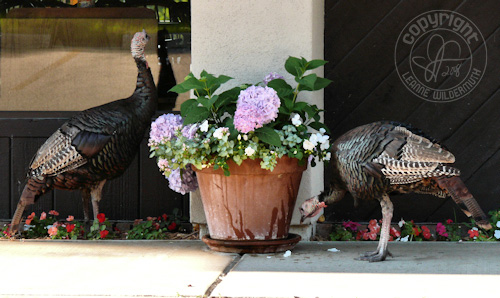 wild turkeys drinking turkey photo leanne wildermuth
