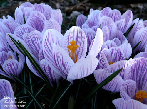 Verigated crocus blooms purple white flower early spring
