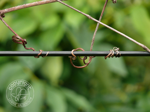 vine wrapped around power cord photo leanne wildermuth
