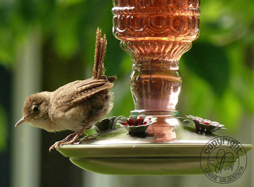 house wren on hummingbird feeder