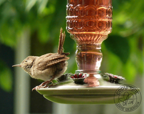 house wren on hummingbird feeder photo leanne wildermuth